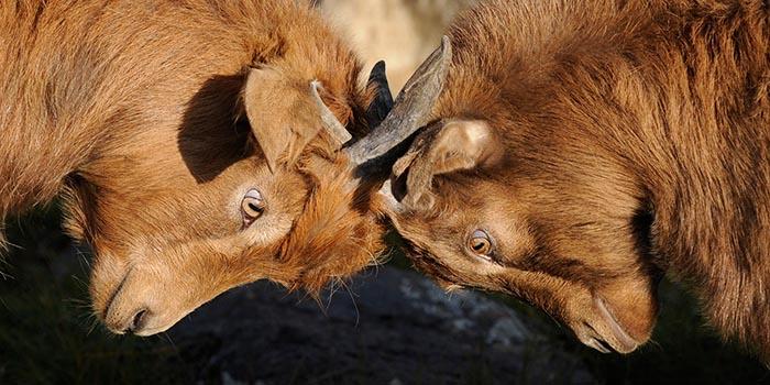 Zwei kämpfende Ziegen